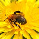 """ Flower Bee Immersed In A Dandelion "" by Richard Couchman"