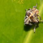 Very Tiny Bug.   Leaf hopper nymph  [ Issus coleoptratus. ] by relayer51