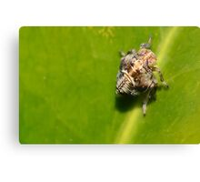 Very Tiny Bug.   Leaf hopper nymph  [ Issus coleoptratus. ] Canvas Print