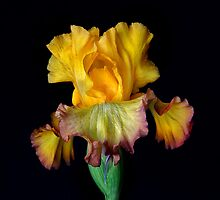 Garden Iris by Floyd Hopper