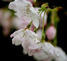 Rain and blossoms by picoftheday