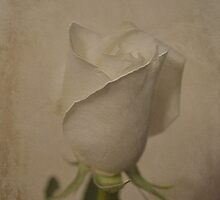 White Rose by Dorothy  Pinder