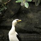 Little Pied Cormorant by Crin