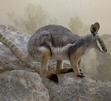 Rock wallaby by Jan Pudney