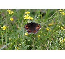 Scotch Argus Photographic Print