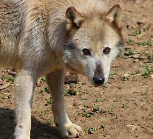 Watching - Wolf by virtualdiablo