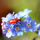 Gardeners beware of this beautiful beetle by missmoneypenny