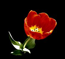 Tulip on Black by wippapics