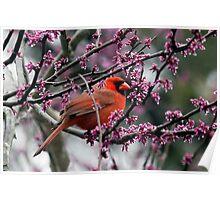 Northern Cardinal (Cardinalis cardinalis) Poster