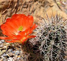 Orange Hedgehog Cactus Blossom by Kathleen Brant