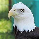 American Eagle by McGaffus