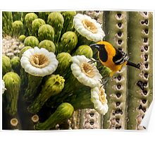 Hooded Oriole on a Saguaro Blossom Poster