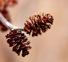 Mature Female Catkins on an Alder by Kathleen Daley