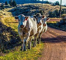 The Three Cowmigos by Richard Bozarth