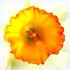 Daffodil closeup by ©The Creative  Minds