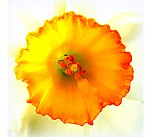 Daffodil closeup Photographic Print