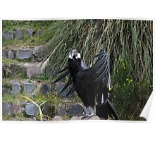 Female Andean Condor Sunning Poster
