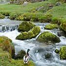 A Duck Enjoys the River at Malham by Sue Knowles