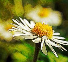 Lawn daisies by buttonpresser