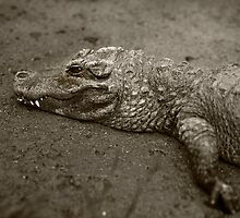 American Alligator by damhotpepper