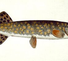 Carp (Cyprinus Carpio) by Bridgeman Art Library