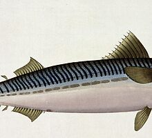Mackerel (Scomber Scomber) by Bridgeman Art Library