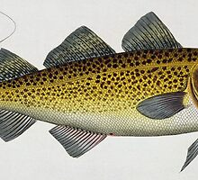 Cod (Gadus Morhua) by Bridgeman Art Library