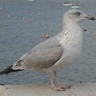 Seagull by Theindigowitch