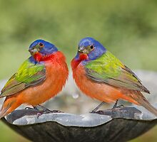 Male Painted Buntings by Bonnie T.  Barry