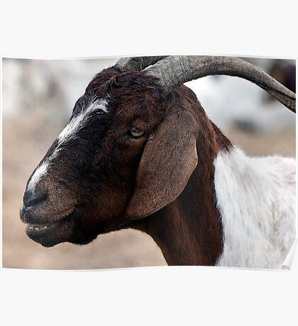 Boer Goat Watercolor Portrait Poster