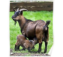Pygmy Goat Mother And Baby Poster