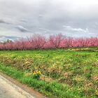 Apple Orchard - Spring Blossoms by James Brotherton