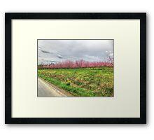 Apple Orchard - Spring Blossoms Framed Print