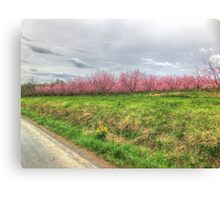 Apple Orchard - Spring Blossoms Canvas Print