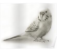 Budgie sketch Poster