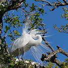 Great Egret Displays Plumage by Kenneth Keifer