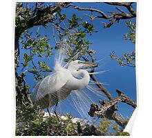 Great Egret Displays Plumage Poster