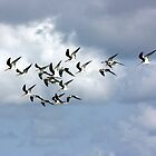 SKIMMERS IN FLIGHT by TomBaumker
