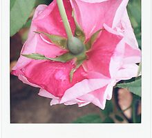 Fresh Pink Rose by tropicalsamuelv