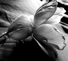 KNOCK OUT ROSE (BLACK AND WHITE PHOTO) by Sandra  Aguirre