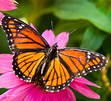 Orange Viceroy Butterfly by Christina Rollo