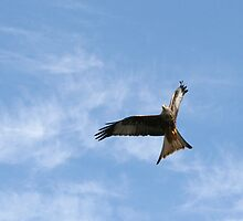 Red Kite 2 by GreyFeatherPhot