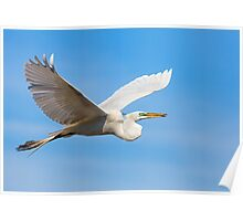 Great Egret Flying with Stick Poster