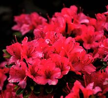 Azaleas In The Garden by lynn carter