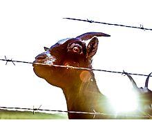 Mornin', goat. Photographic Print