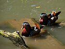 A pair of Mandarin Ducks by David Carton