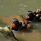 A pair of Mandarin Ducks by buttonpresser