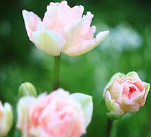 Bokeh Tulips by rennaisance