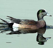 American Wigeon Duck Portrait by Oldetimemercan