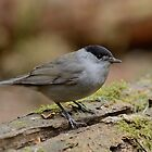 Blackcap - I by Peter Wiggerman